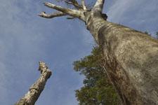 三嶺の木の画像002