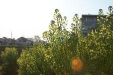 アブラナの花の画像001