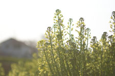 アブラナの花の画像002