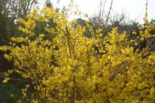 レンギョウの花の画像001