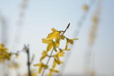 レンギョウの花の画像003