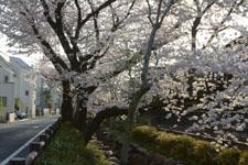 川辺の満開の桜の画像003