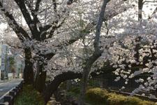 川辺の満開の桜の画像004