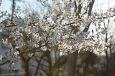 川辺の満開の桜の画像015