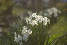 白い水仙の花の画像009