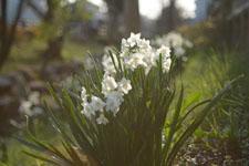 白い水仙の花の画像011