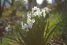 白い水仙の花の画像010