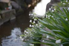 スノーフレークの花の画像002