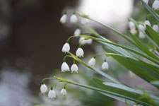 スノーフレークの花の画像003