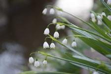 スノーフレークの花の画像004