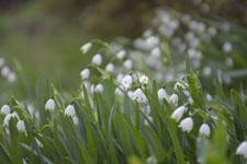 スノーフレークの花の画像005