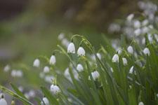 スノーフレークの花の画像006