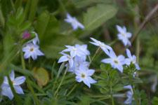 ハナニラの花の画像004