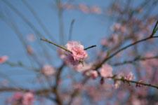 紅梅の花の画像003