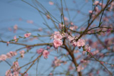 紅梅の花の画像005