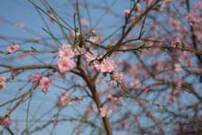 紅梅の花の画像007