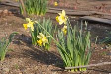 黄色い水仙の花の画像004