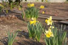 黄色い水仙の花の画像006