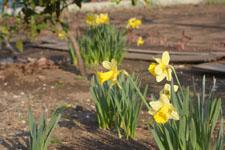 黄色い水仙の花の画像007