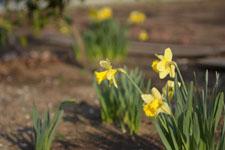 黄色い水仙の花の画像008