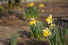 黄色い水仙の花の画像009