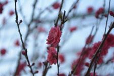 紅梅の花の画像013