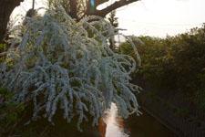 ユキヤナギの花の画像009