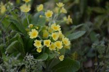 プリムラの花の画像010