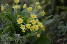 プリムラの花の画像011
