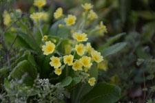 プリムラの花の画像012