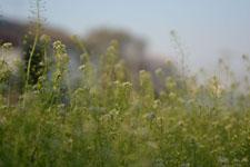 ナズナの花の画像008