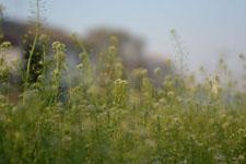ナズナの花の画像009