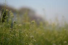 ナズナの花の画像010