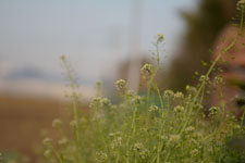 ナズナの花の画像011