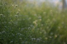 ナズナの花の画像012