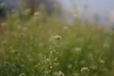 ナズナの花の画像013