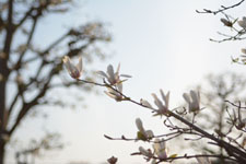 モクレンの花の画像007