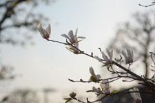 モクレンの花の画像008