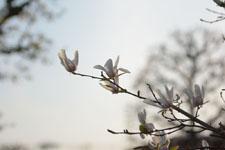 モクレンの花の画像009