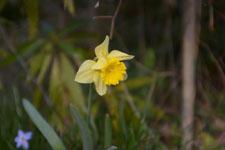 黄色い水仙の花の画像011