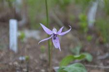 カタクリの花の画像001