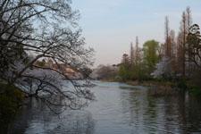 井の頭恩賜公園の桜と夕焼けの画像002