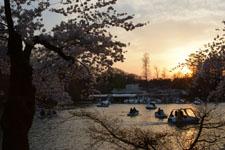 井の頭恩賜公園の桜と夕焼けの画像007