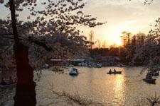 井の頭恩賜公園の桜と夕焼けの画像008