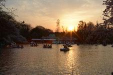 井の頭恩賜公園の桜と夕焼けの画像009