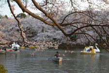 夕方の井の頭恩賜公園の桜の画像002