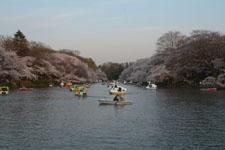 夕方の井の頭恩賜公園の桜の画像004
