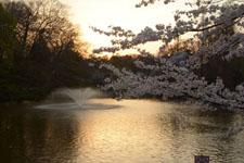 井の頭恩賜公園噴水と桜の画像003