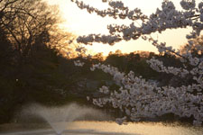 井の頭恩賜公園噴水と桜の画像001