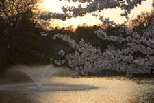 井の頭恩賜公園噴水と桜の画像004
